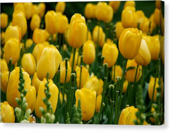 Yellow Tulip Sea Canvas Print