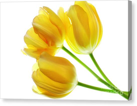 Yellow Tulips Canvas Print by Charline Xia