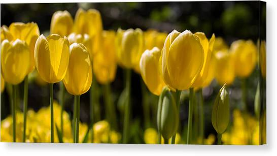 Yellow Tulips On Parade Canvas Print
