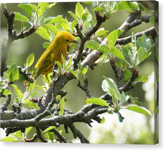 Yellow Warbler In Pear Tree Canvas Print
