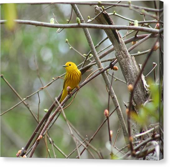 Yellow Warbler Canvas Print