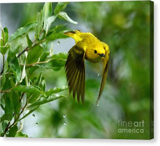 Yellow Warbler Takes Flight Canvas Print
