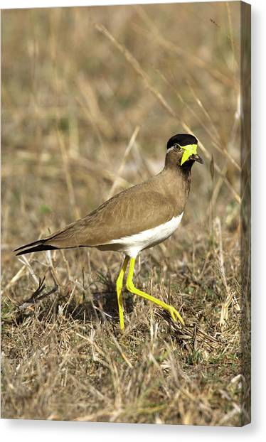 Lapwing Canvas Print - Yellow-wattled Lapwing by Tony Camacho/science Photo Library