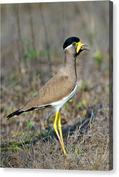 Lapwing Canvas Print - Yellow-wattled Lapwing Vanellus by Panoramic Images