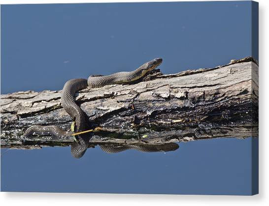 Yellowbelly Water Snake - 8494 Canvas Print