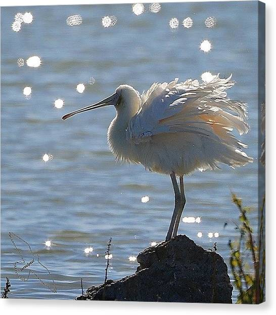 Spoonbills Canvas Print - Yellow-billed Spoonbill by Paul Rushworth