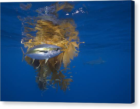 Canvas Print featuring the photograph Yellowfin Tuna And Kelp Nine-mile Bank by Richard Herrmann