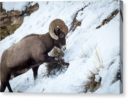 Yellowstone Bighorn Canvas Print