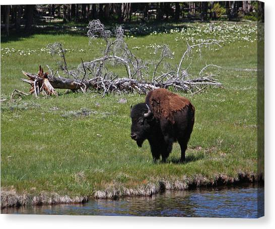 Yellowstone Bison By Nez Perce Creek Canvas Print