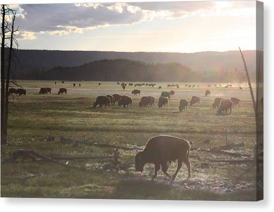 Yellowstone Bison Near Lower Geyser Basin Canvas Print