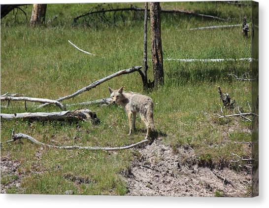 Yellowstone Coyote Canvas Print