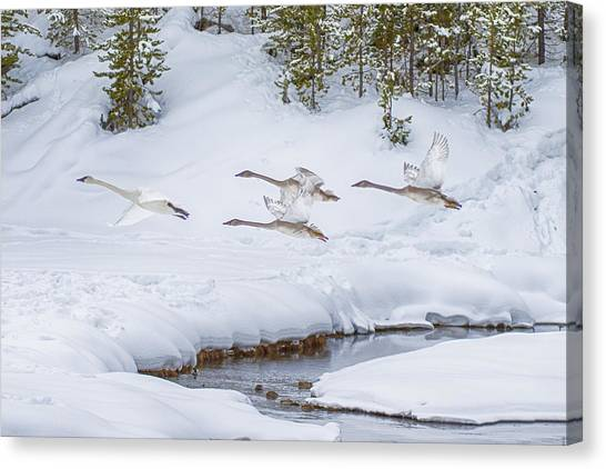 Yellowstone Geese Fly By Canvas Print
