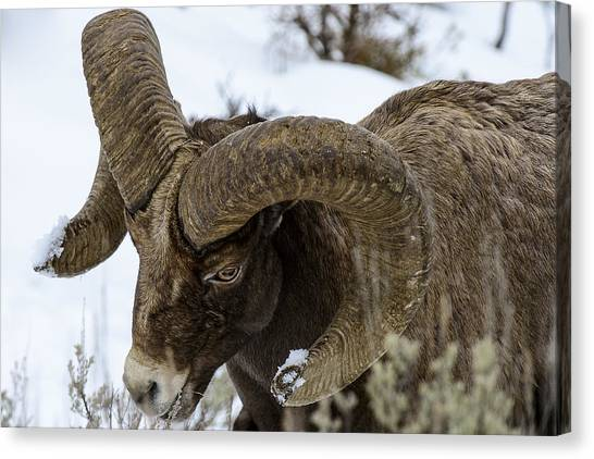 Yellowstone Ram Canvas Print by David Yack