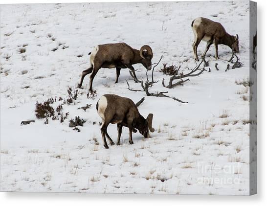 Yellowstone Sheep Canvas Print