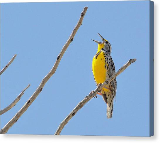 Meadowlarks Canvas Print - Yer Heart Out.. by Al  Swasey