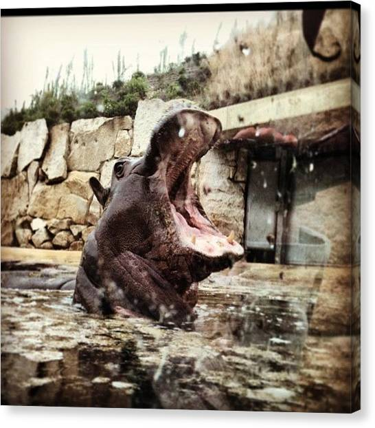 Hippos Canvas Print - Yes #hippo #prague #praha @ronnie746 by Laura Hindle