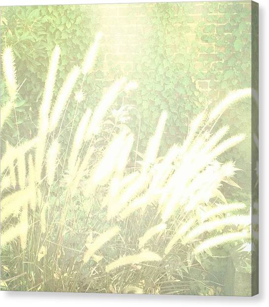 Jerseys Canvas Print - Yesterday's Light #grass #plant by Red Jersey