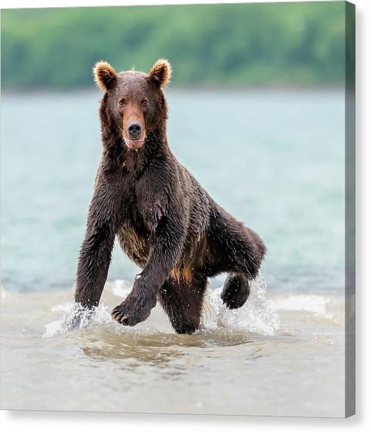 Brown Bears Canvas Print - Yogi by Giuseppe D\\\'amico
