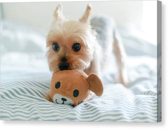 Yorkie Playing With Teddy Toy Canvas Print by Cheryl Chan