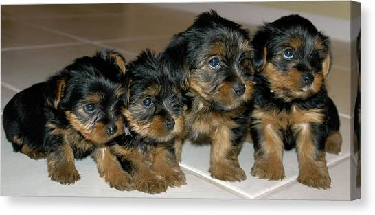 Yorkie Puppies-we're Sorry Canvas Print