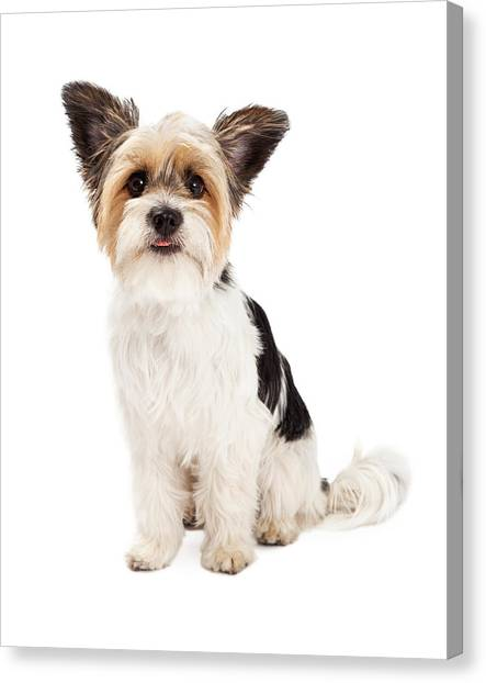 Shih Tzus Canvas Print - Yorkshire Terrier And Shihtzu Crossbreed Sitting by Susan Schmitz