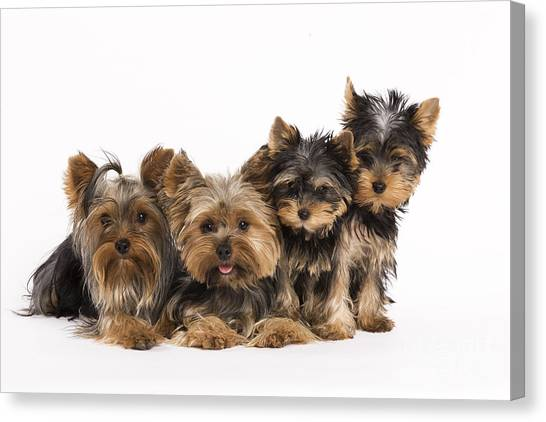 Yorkie Canvas Print - Yorkshire Terriers by Jean-Michel Labat