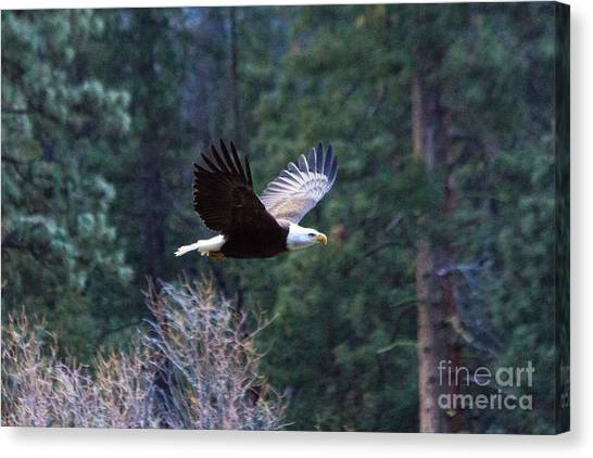 Yosemite Bald Eagle Canvas Print