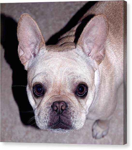 French Bull Dogs Canvas Print - You Had Me At Hello by Donna Proctor