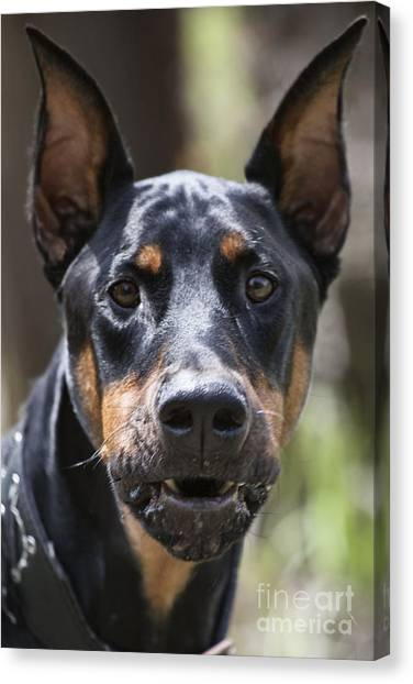Doberman Pinschers Canvas Print - You Have About 15 Seconds by Douglas Barnard