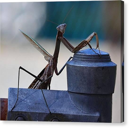 You Looking At Me - Pray Mantis Canvas Print