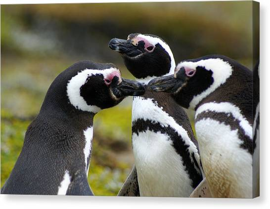 You May Kiss The Bride - Penguins Canvas Print by DerekTXFactor Creative