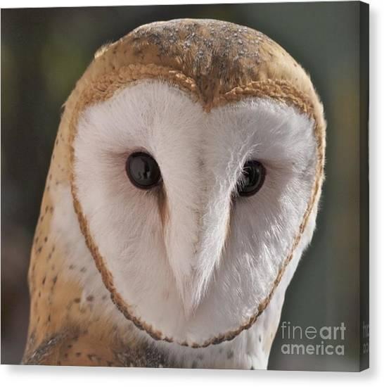 Young Barn Owl Canvas Print