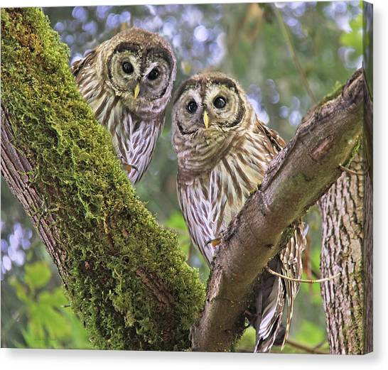 Young Barred Owlets  Canvas Print
