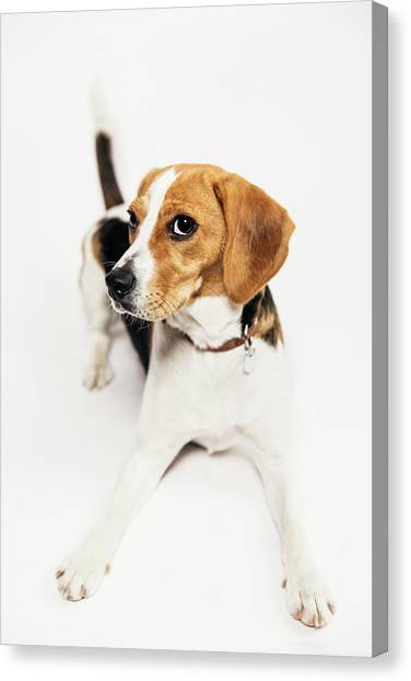 Young Beagle In The Studio Canvas Print by Kevin Vandenberghe