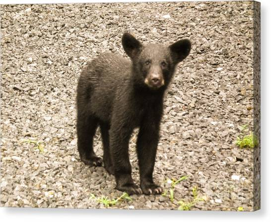 Young Cub Canvas Print