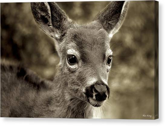Young Curious Deer Canvas Print