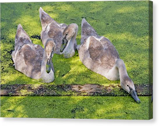 Young Cygnets Canvas Print