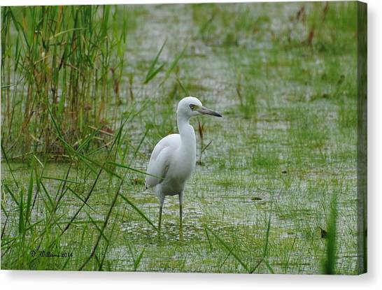 Juvenile Little Blue Heron At Willow Pond Canvas Print