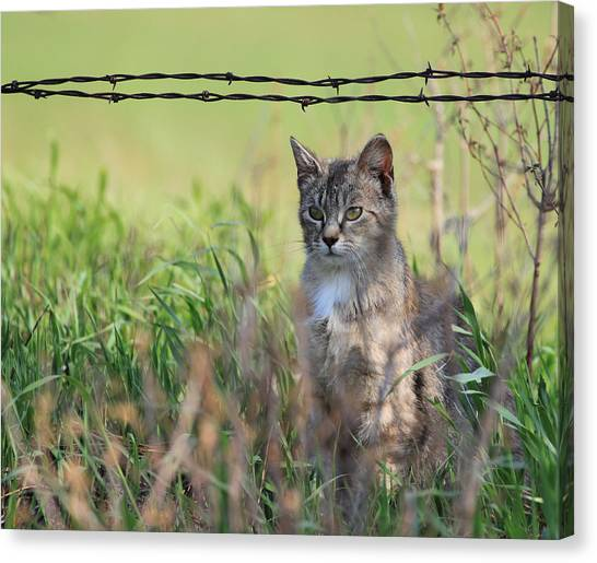 Young Farm Kitty Canvas Print