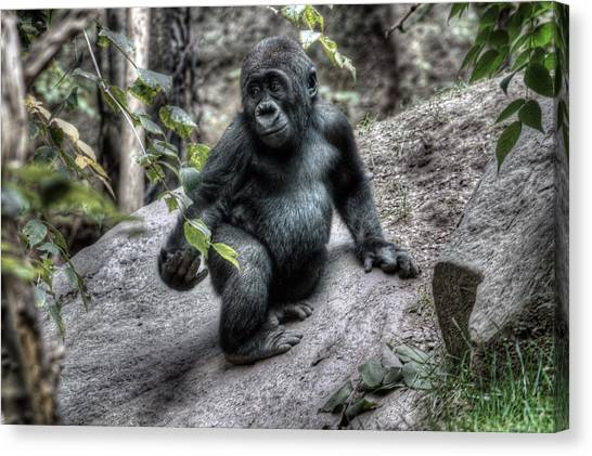 Young Gorilla Canvas Print