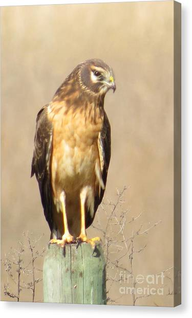 Young Harrier Canvas Print by Frank Townsley