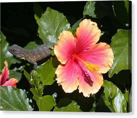 Pink Camo Canvas Print - Young Iguana by Shane Bechler