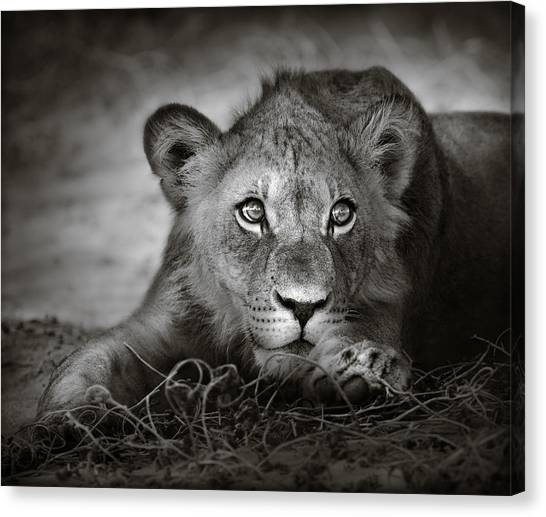 Lions Canvas Print - Young Lion Portrait by Johan Swanepoel