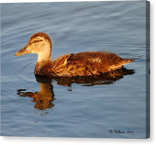 Young Mallard Hen At Ocracoke Canvas Print