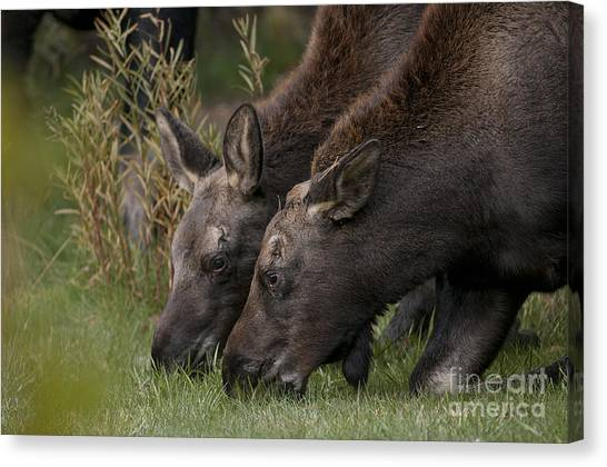 Young Moose Canvas Print by Earl Nelson