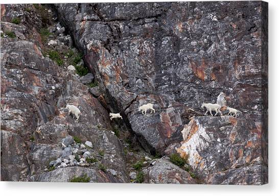 Young Mountain Goat Jumps Canvas Print