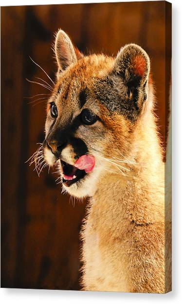 Young Mountain Lion Canvas Print