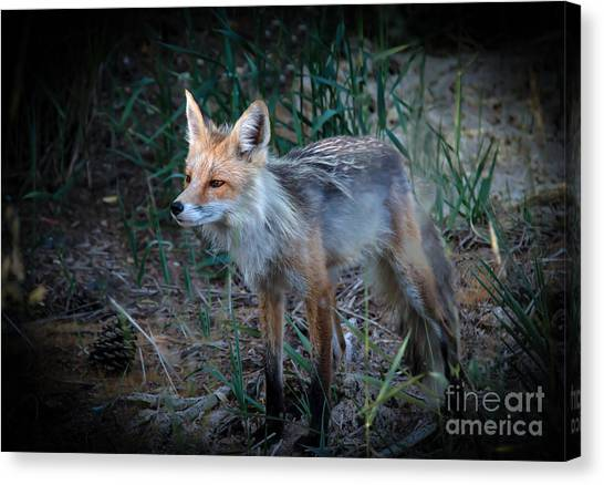 Bushy Tail Canvas Print - Young Red Fox by Robert Bales