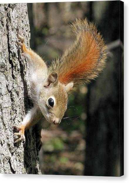 Young Red Squirrel Canvas Print