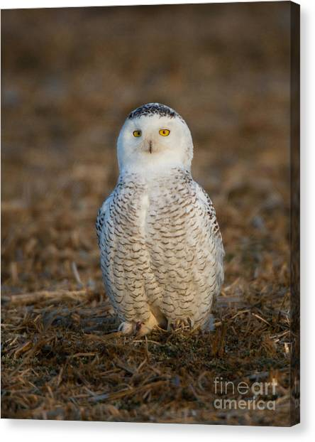 Young Snowy Owl Canvas Print